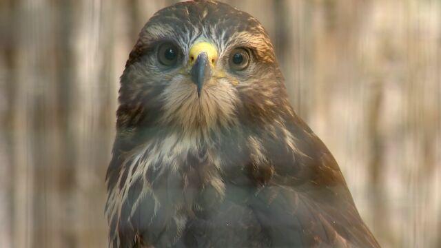 Komuś uciekły dwa drapieżne ptaki. Zajęli się nimi leśnicy, którzy szukają ich właściciela