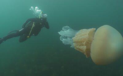 Meduza wielkości człowieka u wybrzeży Wielkiej Brytanii