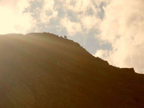 Licząc kozice, przyrodnicy wędrują od górnej granicy lasu w kierunku głównej grani Tatr