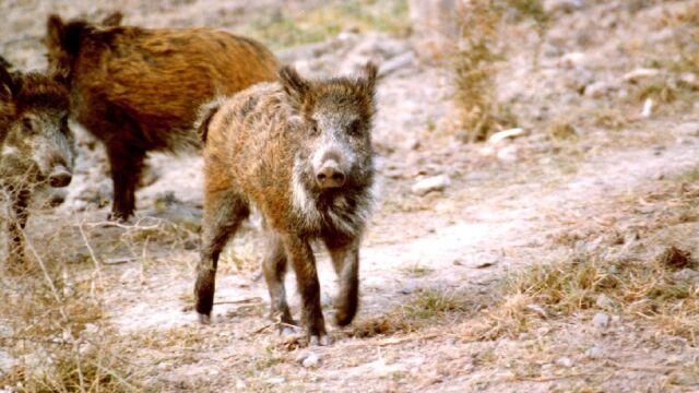 Wyłapią dziki i wywiozą na Kaszuby