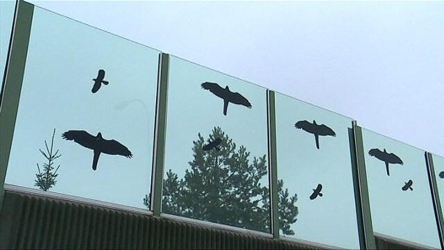 Ptaki masowo rozbijają się o ekrany. Nie boją się naklejek