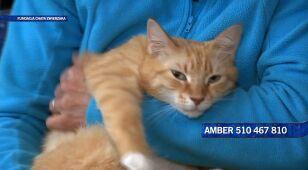Amber - kocia łagodność