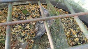 Myszołów uwięziony na cmentarzu. Uratował go biegacz