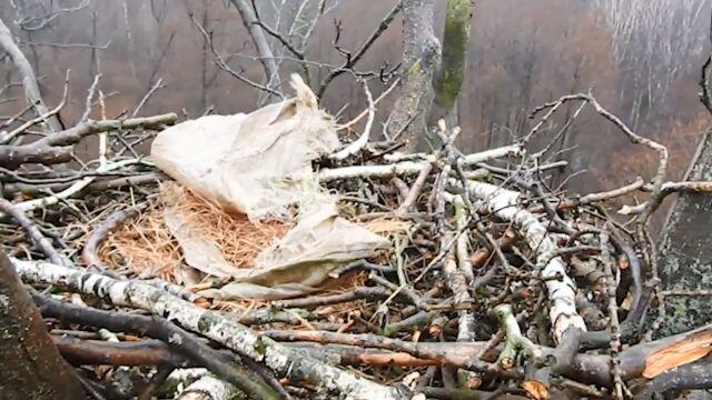 Ktoś zniszczył lęg bielika. Wspiął się po drzewie, ukradł jaja