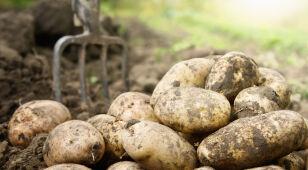 """Rosja nie chce unijnych ziemniaków. """"Złamanie norm"""""""