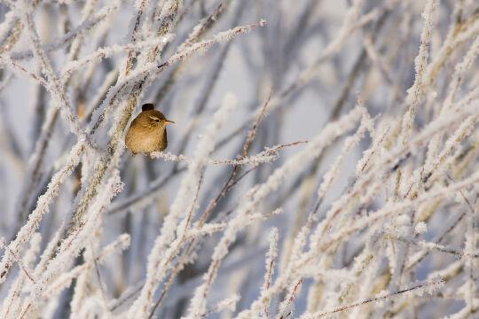Strzyżyk zimą