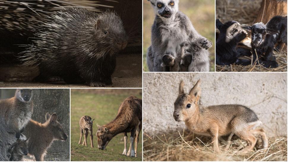 Lemury, jeżozwierze, łabędzie, walabie, kozy,  muflony...  Baby boom we wrocławskim zoo