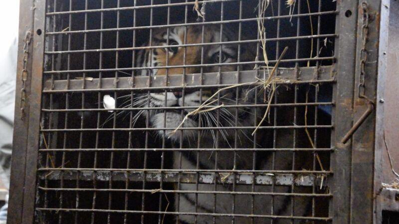 Tygrysy dotarły do poznańskiego zoo