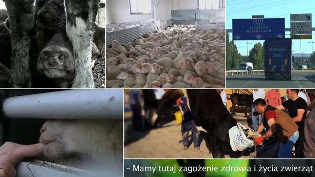 Ranne, głodne i brudne. Skandaliczny transport zwierząt na ubój