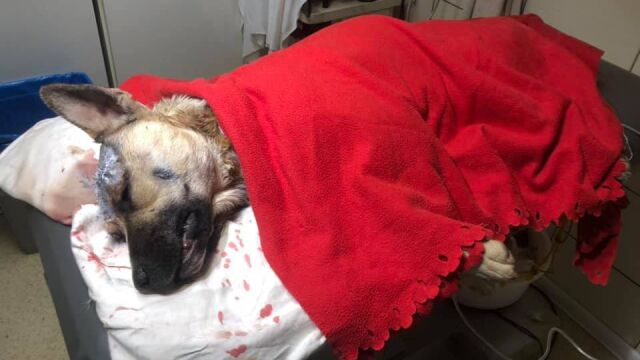 Pies wpadł we wnyki, miał rany od noża w głowie.