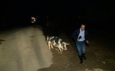 Świnia przeszkodziła reporterowi w wejściu na żywo