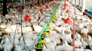 Rosja nie chce amerykańskich kurczaków