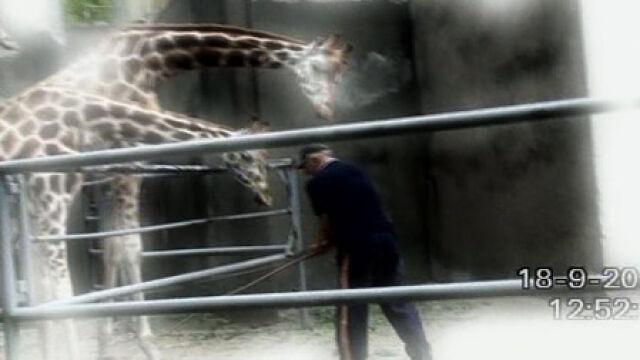 """Opiekun żyraf na urlopie. """"Muszę odpocząć"""""""