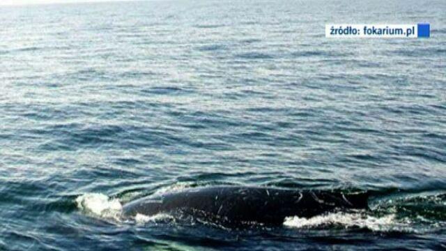 Wieloryb u polskiego wybrzeża