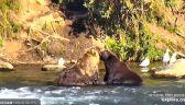 Stado niedźwiedzi przy wodospadzie
