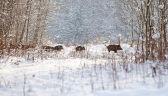 Gdzie polowania na dziki? Pytania o bezpieczeństwo w lesie