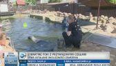 Dwie martwe foki z przywiązaną cegłą