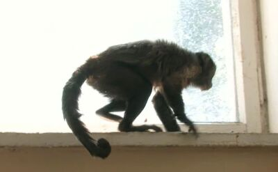 Małpka przybłąkała się do ośrodka wczasowego