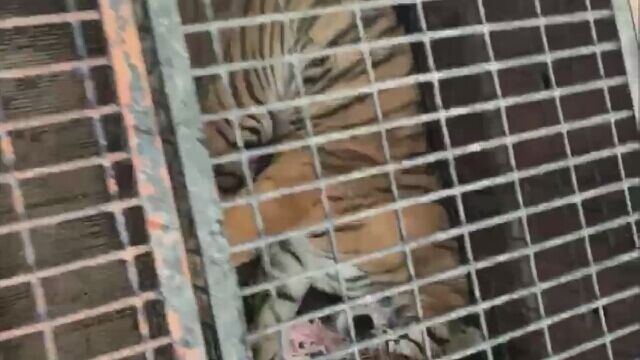 Tygrysy były nagrywane podczas postoju na granicy