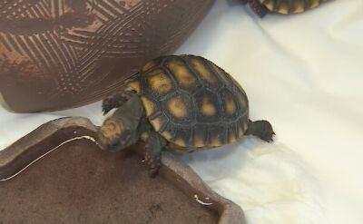 Wysyp żółwi we wrocławskim zoo