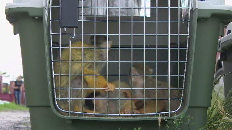 300 zwierząt w nielegalnej hodowli pod Śremem. Małpki walczą o życie