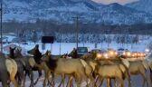 Droga zablokowana przez stado jeleni