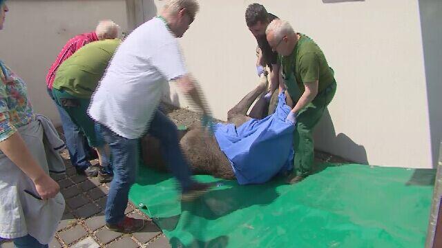 """Łoś biegał po Poznaniu. """"To była bardzo trudna akcja"""""""