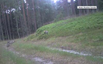 Małe wilki w oku kamery
