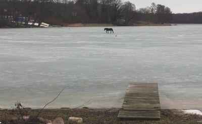 Strażacy uratowali konia. Zapadł się pod nim lód