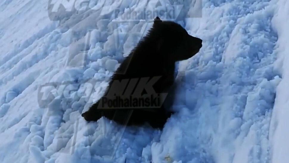 Roczny niedźwiadek na tatrzańskim szlaku. Reakcja TPN