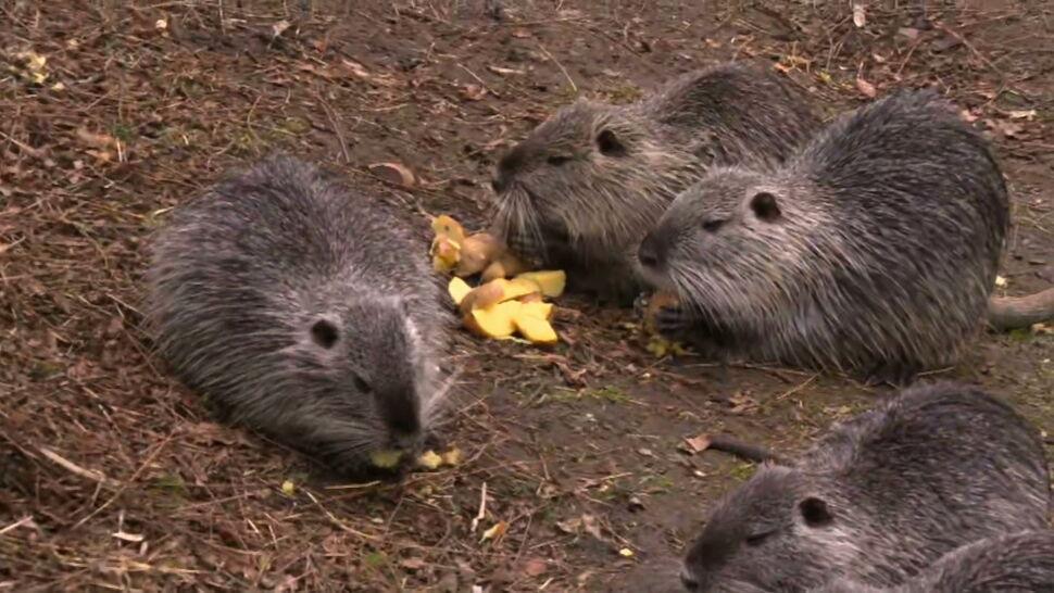 Marchewki, ziemniaki i inne przekąski. Dwójka mieszkańców Rybnika dokarmia nutrie