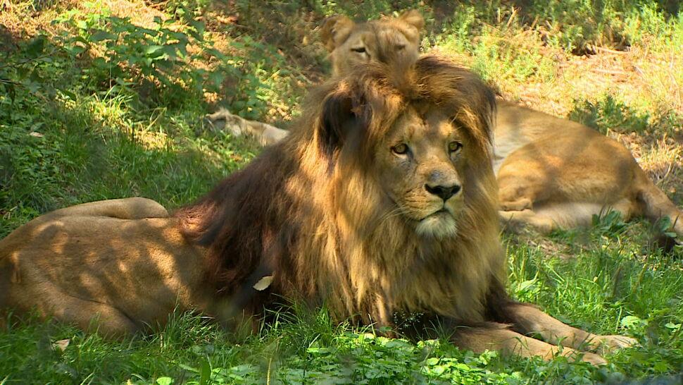 """Życie rodzinne """"Króla Lwa"""". """"Rdzeniem stada są samice"""""""