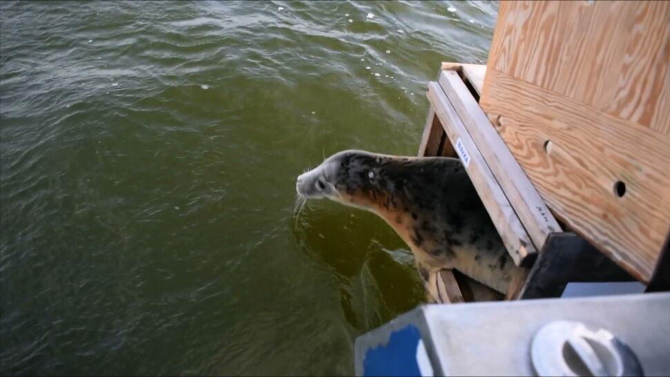 Nad Bałtykiem znaleziono kolejne martwe foki. Kto i dlaczego je zabija?