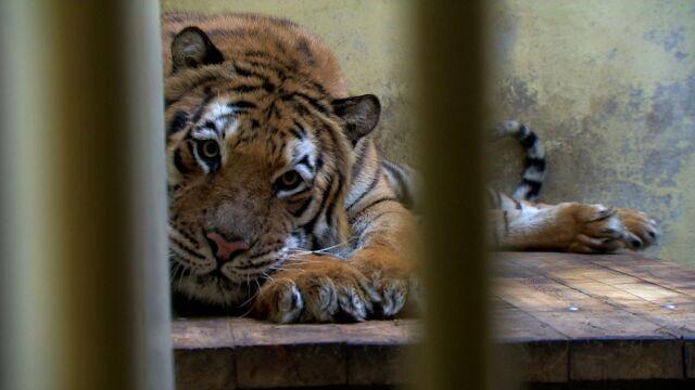 Transport tygrysów. Nagroda dla weterynarza i kłopoty zoo w Poznaniu
