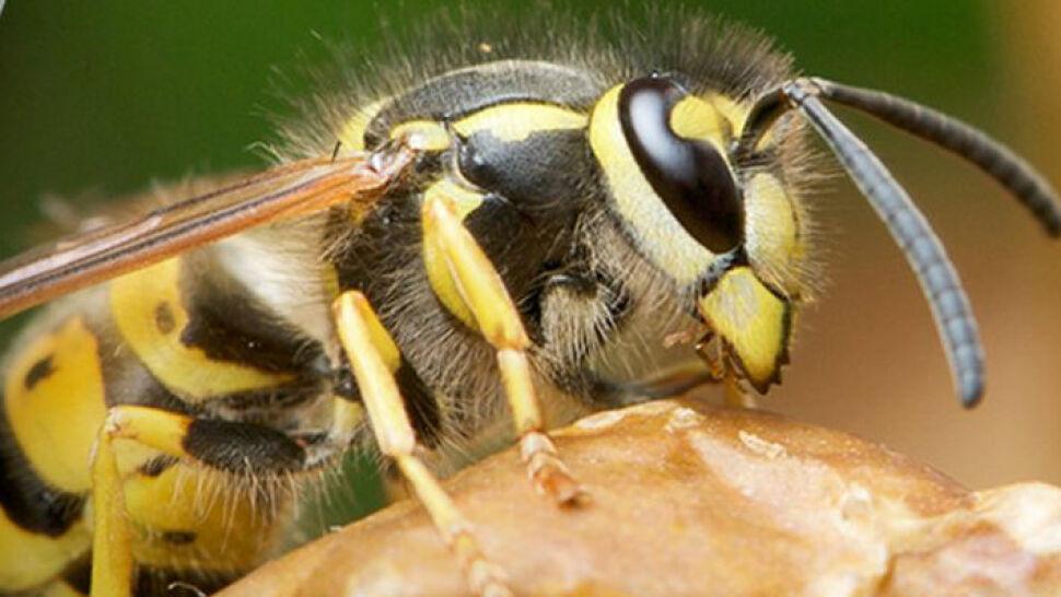 Uwaga na pszczoły, osy i szerszenie! Ich użądlenie może mieć poważne konsekwencje