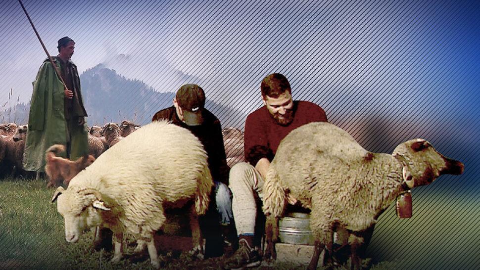 Filozof z korporacji wybrał owce. Teraz zdaje egzamin na juhasa