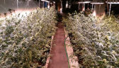 Policja zlikwidowała plantację marihuany w Świdwinie