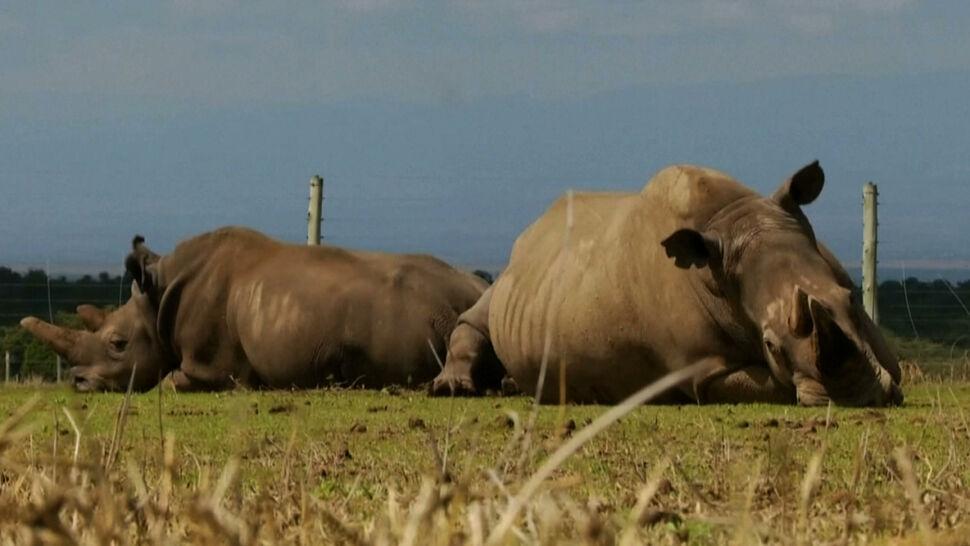 Nadużywanie antybiotyków przez ludzi zagraża zwierzętom? Niepokojące wyniki badań nosorożców w Kenii