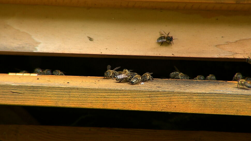 Pszczoły zagrożone na całym świecie. Eksperci winią głównie pestycydy