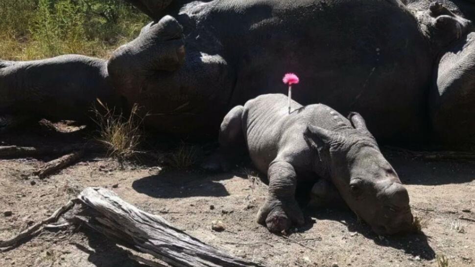Chcą ratować nosorożce. Planują zepsuć rynek rogów zalewem fałszywek