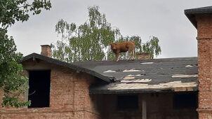 Krowa weszła na dach dworku, ściągali ją strażacy.