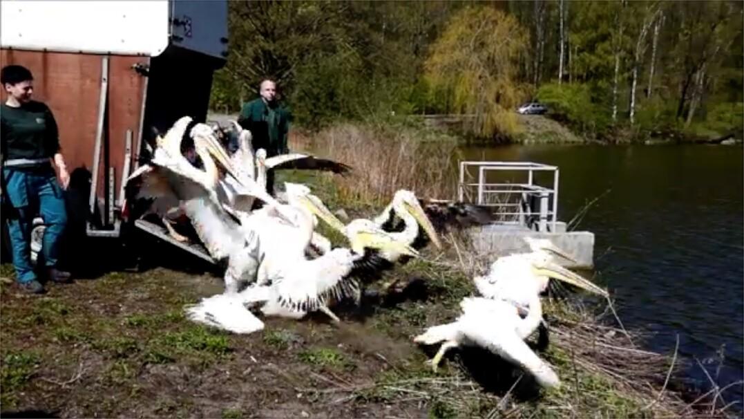 """Pelikany wysypały się do jeziora. """"Gang rybożerców wraca na swoją wyspę"""""""