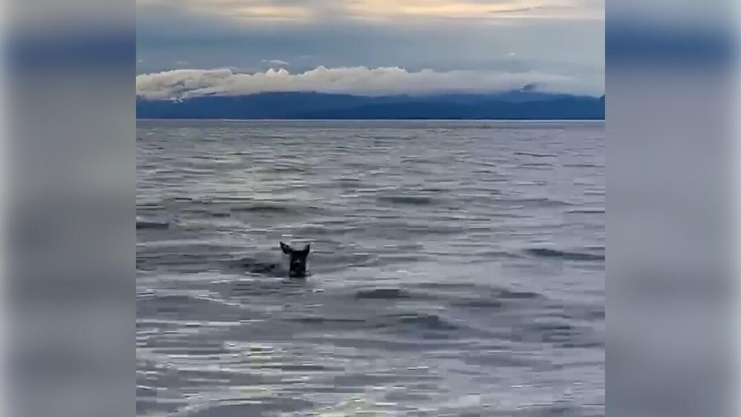 Załoga amerykańskiej straży przybrzeżnej wyciągnęła z wody przestraszonego jelonka