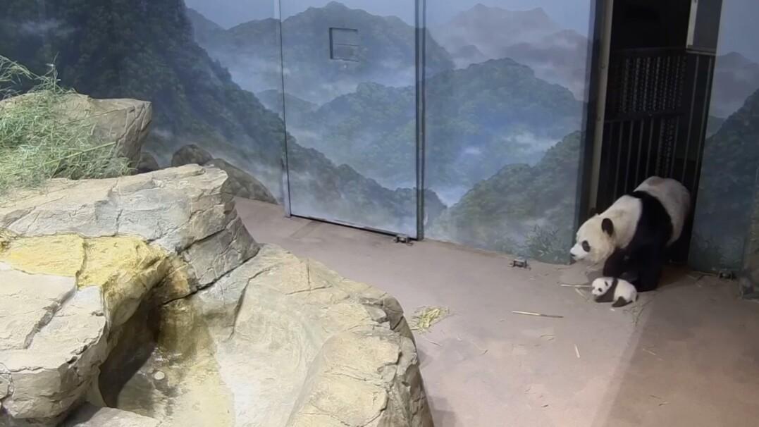Mama panda zabiera swoje młode na uroczą wycieczkę po zoo