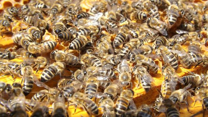 Leśnicy zawiesili kłody bartnicze. <br />Pomagają dzikim pszczołom