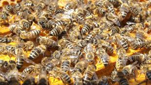 Leśnicy zawiesili kłody bartnicze. Pomagają dzikim pszczołom