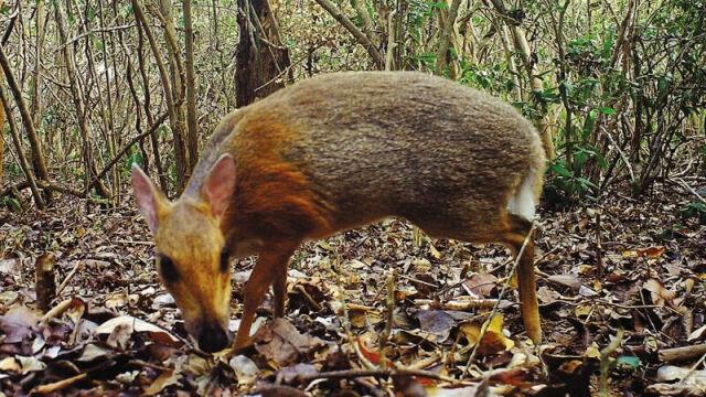 Myszo-jelenie nagrane. Przez prawie 30 lat myślano, że wyginęły