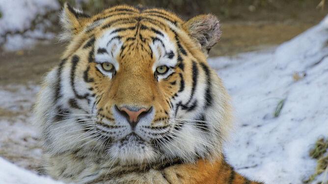 Tygrysica amurska urodziła w dziczy. <br />To cud, bo wcześniej była zniewolona