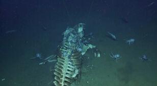 Na dnie morza leżał szkielet walenia. Żerowały na nim drapieżniki