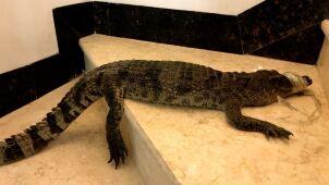 Niewielki, ale bardzo agresywny. Znaleźli krokodyla na schodach